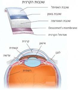 מבנה העין ושכבות הקרנית